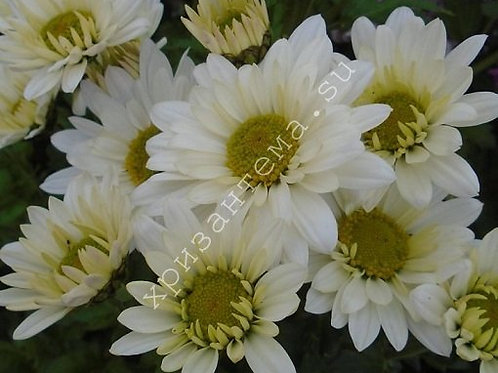 Кустовая хризантема Sofia.