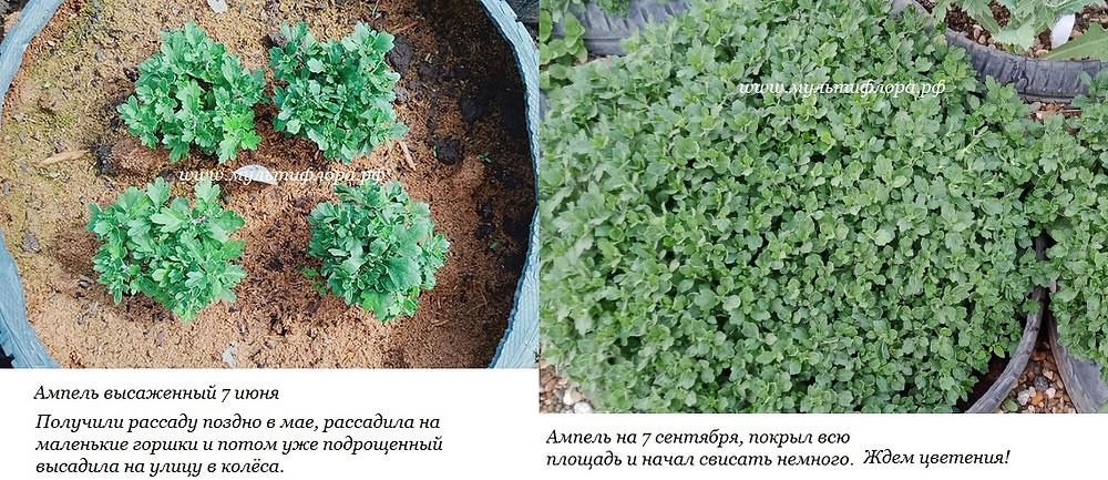 как растёт ампельная хризантема