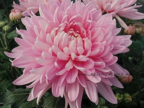 Одноголовая хризантема Allouise pink