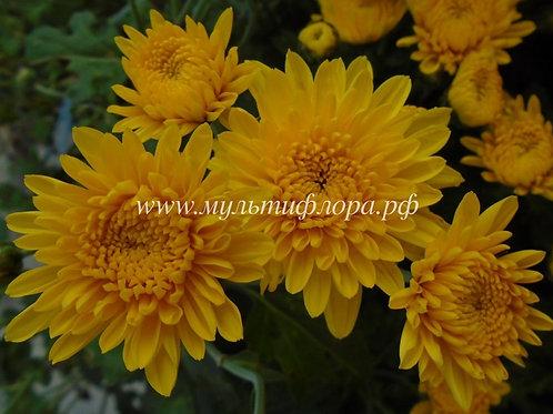 Jaune  хризантема Каскадная
