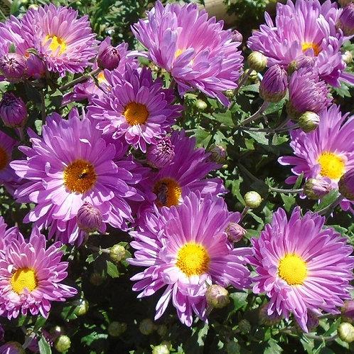 Садовая хризантема Звезда подмосковья
