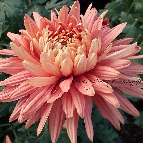 Крупноцветковая хризантема Indian summer