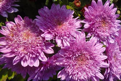 мультифлора Suzanna violet  (череноквесна 2021г)