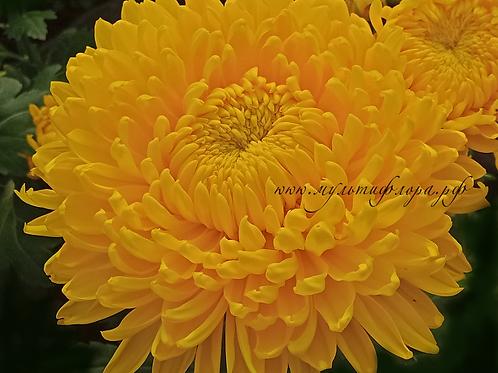 Хризантема крупноцветковая Creamish gold (весна 2021)