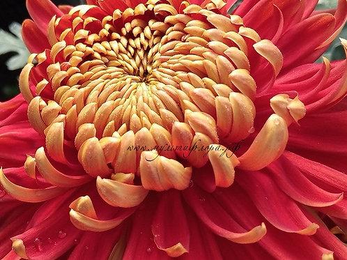Хризантема крупная Hanenburg (о.9)
