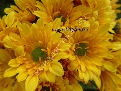 Кустовая хризантема Cheddar