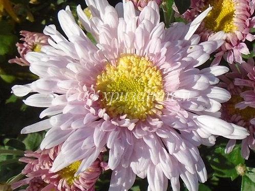 Садовая хризантема Розовый шик
