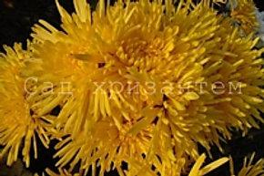 Горшечная хризантема Alara jaune