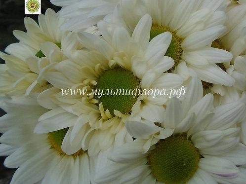 Кустовая хризантема Bacardi