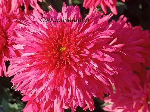 Корейские хризантемы Гвоздика. № з.57