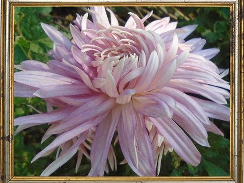 Хризантема домашняя нежно розовая