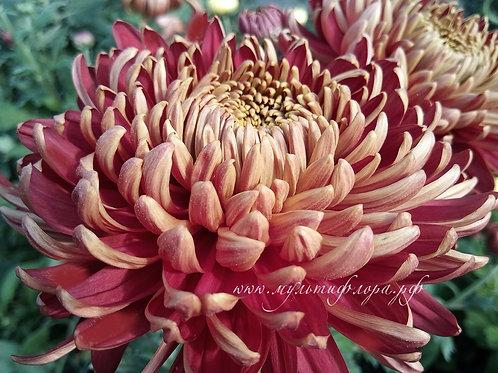 Хризантема одноголовая Bisllet red