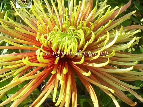 №17. Хризантема крупноцветковая Сафина (весна 2021)