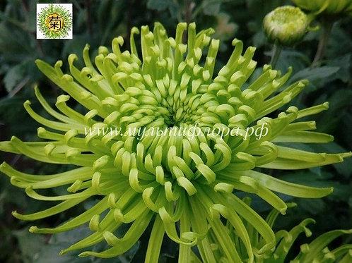 №16. Хризантема крупноцветковая Anastasia green (весна 2021)