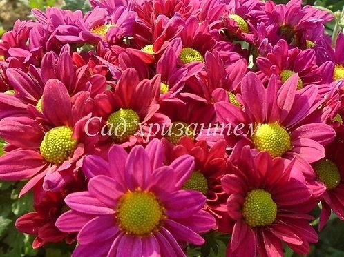 Кустовая хризантема Chelo