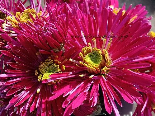 Кустовая хризантема Anessa