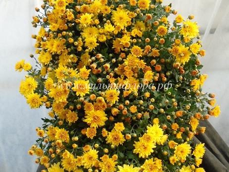 Хризантема каскадная, формирование и выращивание.
