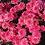 Thumbnail: Корейские хризантемы Гвоздика. № з.57