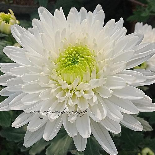 Хризантема крупноцветковая Rezolyut
