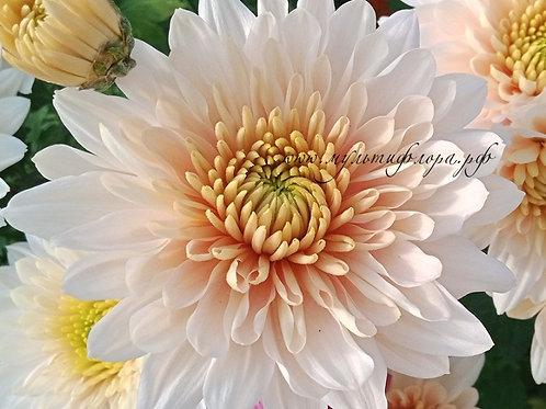 Хризантема одноголовая Zembla vanilla