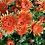 Thumbnail: Зимостойкая хризантема Бельчик