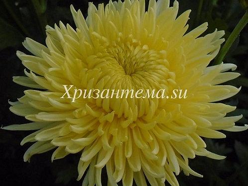 №18. Хризантема крупноцветковая Creamish white