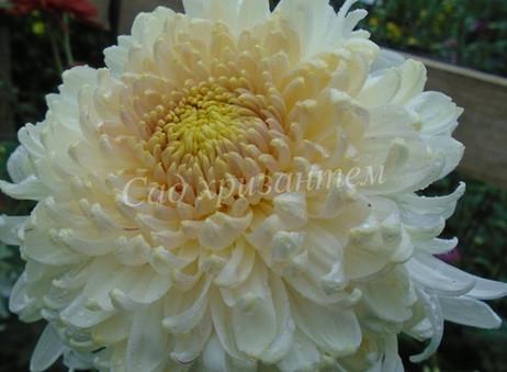 Хризантема одноголовая, крупноцветковая.
