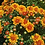 Thumbnail: мультифлора Tocca orange(весна 2021 г)