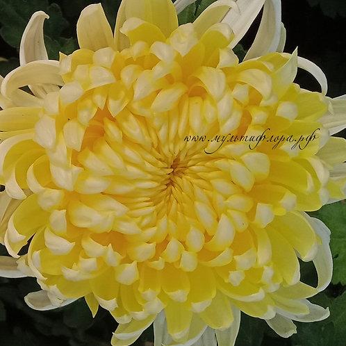 Хризантема домашняя Angelys jaune