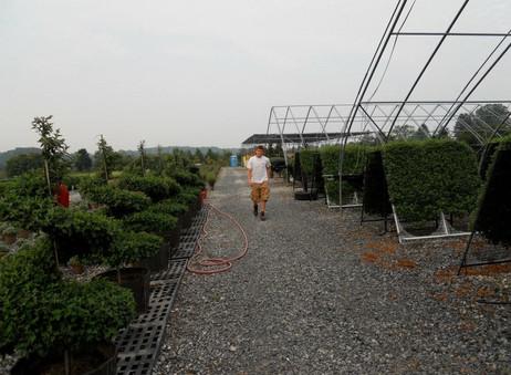 Формирование каскадной хризантемы