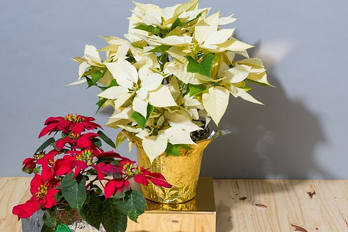 "4"" White Poinsettia with Gold Foil"