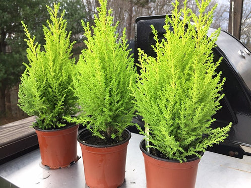"4"" Potted Lemon Cypress Plant"