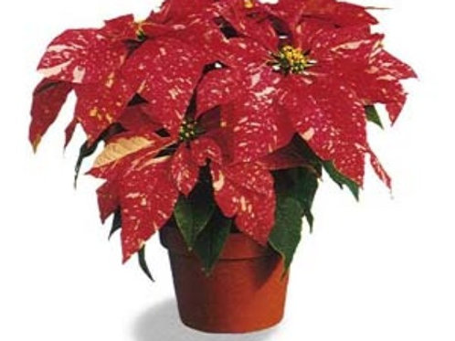 "4"" Jingle Bell Poinsettia with Gold Foil"