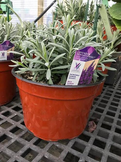 """Lavender 'Scentsational' 9"""" Pot"""