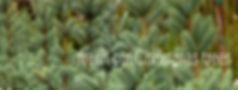 christmas-trees-1000.jpg