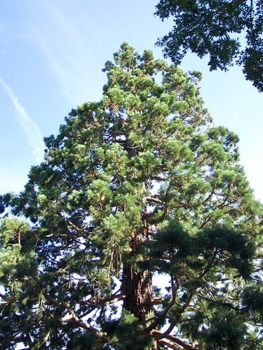 Sequoïa