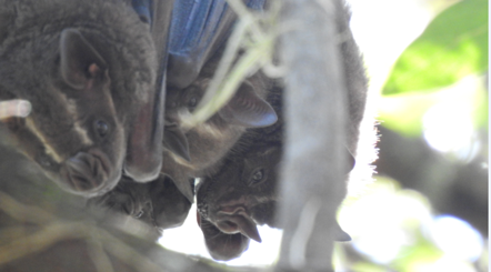 ¿Los murciélagos son los únicos mamíferos capaces de volar?