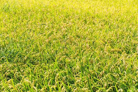 rice-plant-in-rice-field-ZFVC6YF.jpg