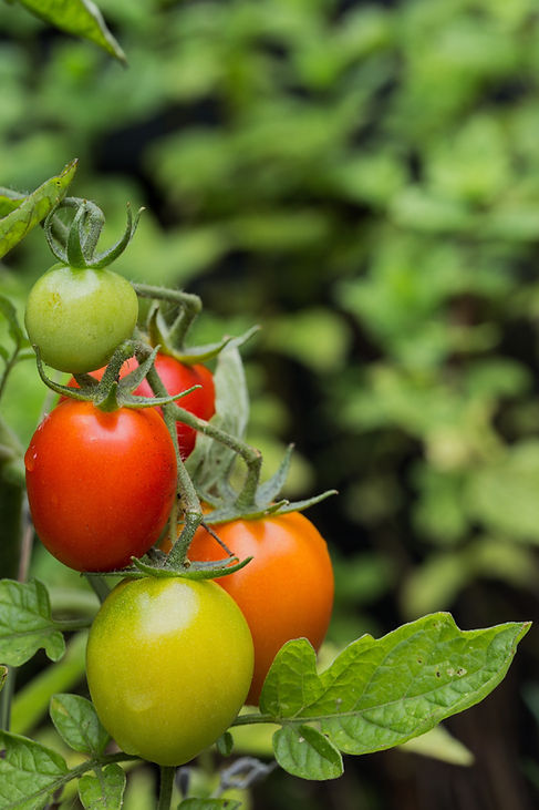 red-green-and-orange-tomatoes-on-a-tomat