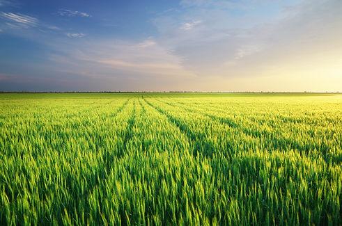 meadow-of-wheat-GCQJF5Z.jpg