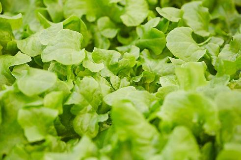 fresh-green-lettuce-background-TAMHCJQ.j
