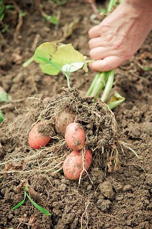 harvesting-potatos-PV7XW45.jpg