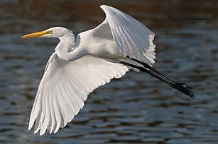 egret-nice-flight.jpg