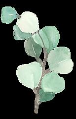 eucalyptus3.png
