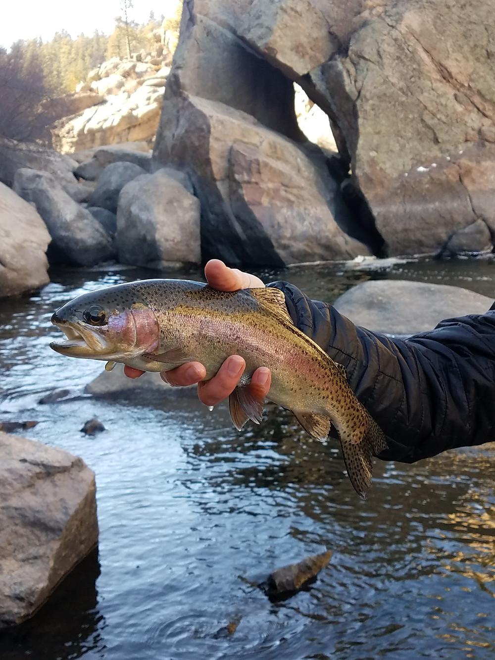 South Platte River Eleven Mile Canyon Rainbow Trout