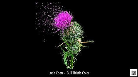 Coen-Lode-Belgium-Lode Coen-Bull Thistle