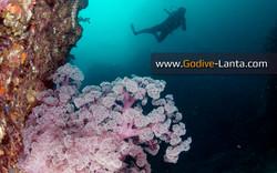 Koh Haa Islands #1 Soft Coral
