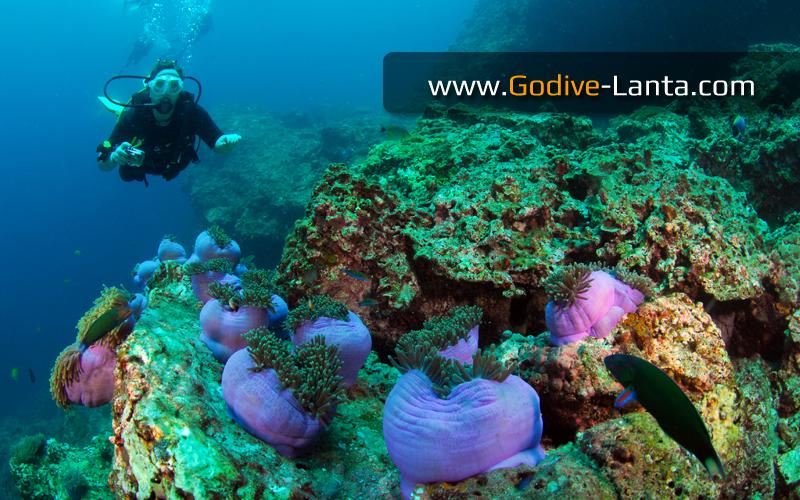 Koh Haa Islands #1 Anemone
