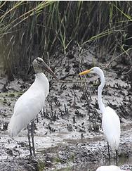 Facing Stork and Egret.png