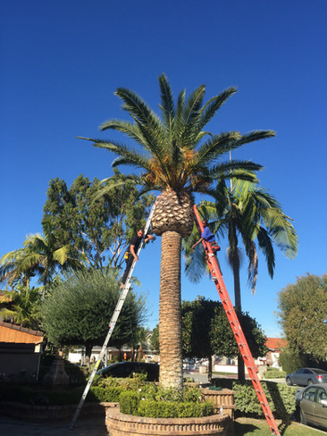 wrapping tall palm tree